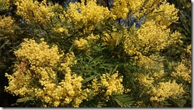 The cold triggers it off! Wattle Day tomorrow.