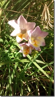 Wild freesias blooming